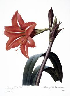 AMARYLLIS /n(Hippeastrum brasilliensis?). Engraving after painting, 1833, by P.J. Redoute.
