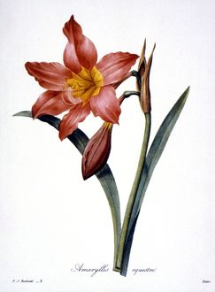 AMARYLLIS /n(Hippeastrum puniceum). Engraving after painting, 1833, by P.J. Redoute.