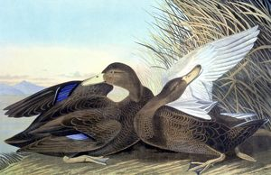 AMERICAN BLACK, OR DUSKY, Duck (Anas rubripes). Lithograph, 1858, by John James Audubon.