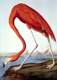 AMERICAN FLAMINGO (Phoenicopterus ruber). Lithograph, 1858, after John James Audubon.