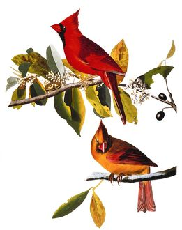 AUDUBON: CARDINAL. Cardinal (Cardinalis cardinalis) by John Audubon for his 'Birds of America