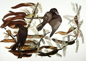 AUDUBON: CROW. Fish crow (Corvus ossifragus), from John James Audubon's 'The