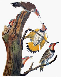 AUDUBON: FLICKER. Common Flicker (Colaptes auratus), from John James Audubon's