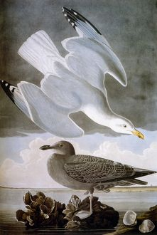 AUDUBON: GULL. Herring gull (Larus argentatus), from John James Audubon's 'The