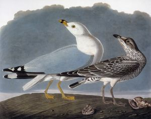 AUDUBON: GULL. Ring-billed gull, or common gull (Larus canus), from John James Audubon's