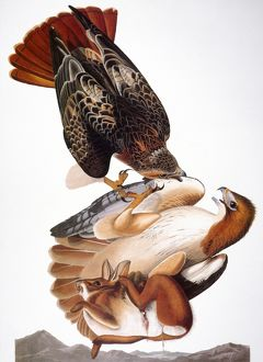 AUDUBON: RED-TAILED HAWK. (Buteo jamaicensis) by John James Audubon for his 'Birds of America