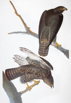 AUDUBON: RED-TAILED HAWK. 'Harlan's' Red-tailed Hawk (Buteo jamaicensis)