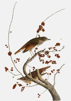 AUDUBON: THRUSH. Hermit Thrush (Catharus guttatus), from John James Audubon's 'The Birds of America', 1827-1838.