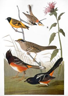 AUDUBON: VARIOUS BIRDS. From top: chestnut-colored finch, black-headed siskin, black crown bunting