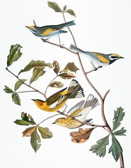 AUDUBON: WARBLER, (1827-1838). Golden-winged warbler (Vermivora chrysoptera) and Cape May Warbler