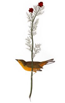 AUDUBON: WARBLER, (1827). /nHooded Warbler, or Selby's Flycatcher (Wilsonia citrina)