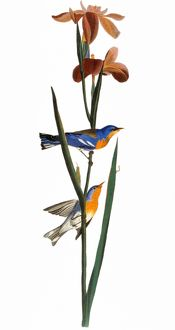 AUDUBON: WARBLER, 1827. Northern Parula, or Blue Yellow-back, Warbler (Parula americana)