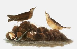 AUDUBON: WATER PIPIT, 1827. Water Pipit, or Brown Titlark (Anthus spinoletta), by