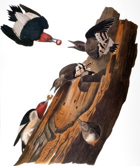 AUDUBON: WOODPECKER. Red-headed woodpecker (Melanerpes erythrocephalus), from John