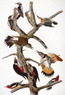 AUDUBON: WOODPECKERS. Hairy woodpeckers (top left); Red-bellied woodpeckers (top