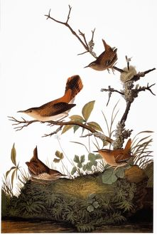 AUDUBON: WREN. Winter wren (Troglodytes troglodytes) and rock wren (Salpinctes obsoletus)
