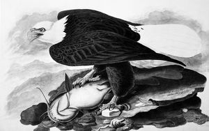THE BALD EAGLE. Watercolor painting by John James Audubon (1785-1851).