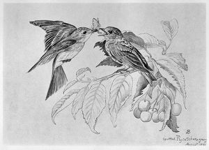 BLACKBURN: BIRDS, 1861. 'Spotted Flycatcher.' Illustration by Jemima Blackburn