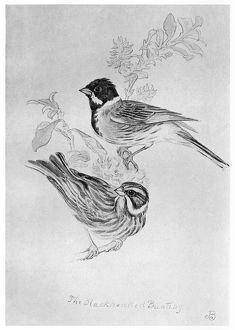 BLACKBURN: BIRDS, 1895. 'Black-Headed Bunting.' Illustration by Jemima Blackburn