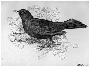 BLACKBURN: BIRDS, 1895. 'Blackbird.' Illustration by Jemima Blackburn, 1895