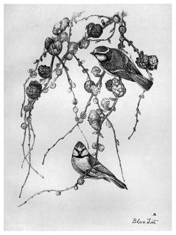 BLACKBURN: BIRDS, 1895. 'Blue Tit.' Illustration by Jemima Blackburn, 1895