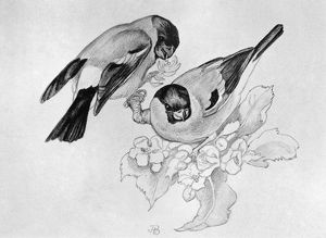 BLACKBURN: BIRDS, 1895. 'Bulfinch.' Illustration by Jemima Blackburn, 1895