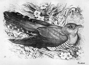 BLACKBURN: BIRDS, 1895. 'Cuckoo.' Illustration by Jemima Blackburn, 1895