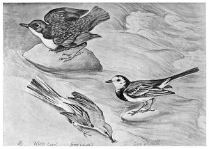 BLACKBURN: BIRDS, 1895. 'Dipper, Grey Wagtail, and Pied Wagtail