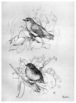 BLACKBURN: BIRDS, 1895. 'European Robin.' Illustration by Jemima Blackburn, 1895