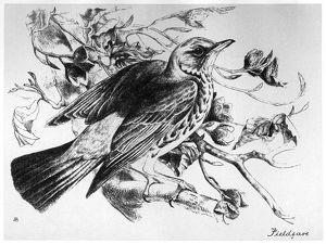 BLACKBURN: BIRDS, 1895. 'Fieldfare.' Illustration by Jemima Blackburn, 1895