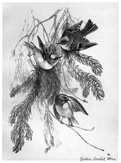 BLACKBURN: BIRDS, 1895. 'Golden-Crested Wren.' Illustration by Jemima Blackburn