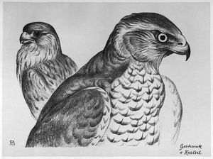 BLACKBURN: BIRDS, 1895. 'Goshawk and Kestrel.' Illustration by Jemima Blackburn