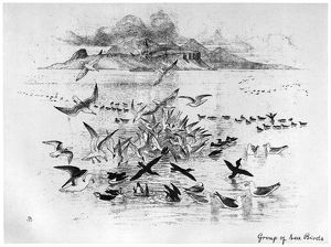 BLACKBURN: BIRDS, 1895. 'Group of Sea Birds.' Illustration by Jemima Blackburn
