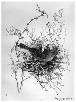 BLACKBURN: BIRDS, 1895. 'Hedge Sparrow.' Illustration by Jemima Blackburn, 1895