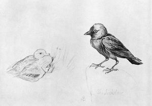 BLACKBURN: BIRDS, 1895. 'Jackdaw.' Illustration by Jemima Blackburn, 1895