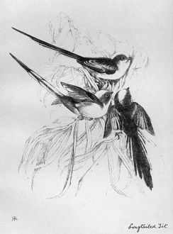 BLACKBURN: BIRDS, 1895. 'Long-tailed Tit.' Illustration by Jemima Blackburn, 1895