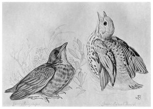 BLACKBURN: BIRDS, 1895. 'Missel or Mistle Thrush