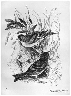 BLACKBURN: BIRDS, 1895. 'Mountain Finch.' Illustration by Jemima Blackburn, 1895