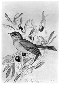 BLACKBURN: BIRDS, 1895. 'Nightingale.' Illustration by Jemima Blackburn, 1895