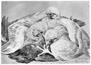 BLACKBURN: BIRDS, 1895. 'Peregrine Falcon.' Illustration by Jemima Blackburn, 1895