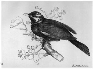 BLACKBURN: BIRDS, 1895. 'Pied Blackbird.' Illustration by Jemima Blackburn, 1895