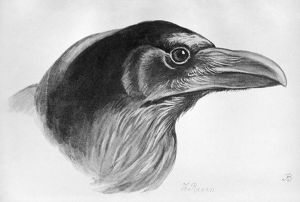 BLACKBURN: BIRDS, 1895. 'Raven.' Illustration by Jemima Blackburn, 1895