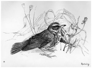 BLACKBURN: BIRDS, 1895. 'Redwing.' Illustration by Jemima Blackburn, 1895