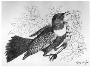 BLACKBURN: BIRDS, 1895. 'Ring Ouzel.' Illustration by Jemima Blackburn, 1895