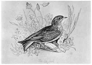 BLACKBURN: BIRDS, 1895. 'The Skylark.' Illustration by Jemima Blackburn, 1895