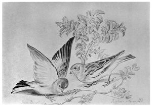 BLACKBURN: BIRDS, 1895. 'Snow bunting.' Illustration by Jemima Blackburn, 1895