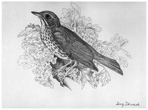 BLACKBURN: BIRDS, 1895. 'Song Thrush.' Illustration by Jemima Blackburn, 1895
