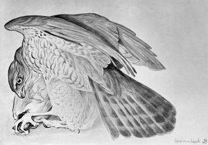 BLACKBURN: BIRDS, 1895. 'Sparrow Hawk.' Illustration by Jemima Blackburn, 1895