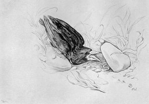 BLACKBURN: BIRDS, 1895. 'Starling.' Illustration by Jemima Blackburn, 1895
