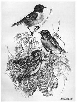 BLACKBURN: BIRDS, 1895. 'Stonechat.' Illustration by Jemima Blackburn, 1895